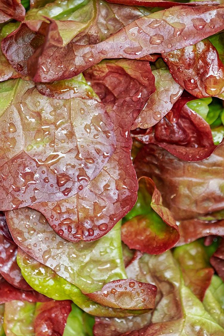 Red lettuce, hoppy hop farms